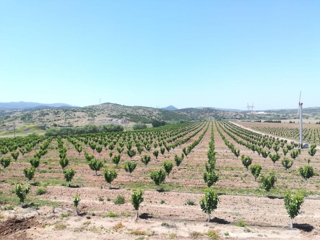 Çanakkale Ezine Orchards
